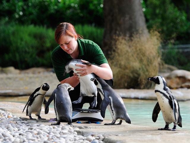 Именно Лондонский зоопарк стал настоящим примером для всех остальных. В 1991 году зоопарк закрылся, так как количество зверей постоянно росло, что привело к трагическим случаям. После многочисленных пожертвований со стороны простых лондонцев, его снова открыли, уже после реконструкции. Сегодня он переживает новую волну перестройки.