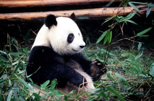 Флора и фауна Китая довольно разнообразны. В лесах произрастают дубы, азалии, магнолии, пальмы, лиственницы и другие деревья. Водятся лисы, леопарды, антилопы и др. Много редких животных. Реки изобилуют рыбой.