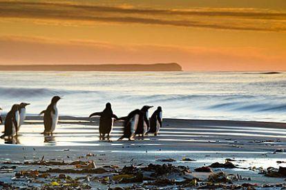 Пингвины - наиболее известные обитатели этих мест, здесь их обитает пять разновидностей и их колонии на берегах островов, мысах и устьях рек, обширны и крайне живописны. Также очень интересны большие колонии красивых черноголовых альбатросов, соколов, ястребов и лебедей, а также обширные лежбища морских слонов и морских львов. У берегов архипелага водятся большие стада дельфинов и касаток.