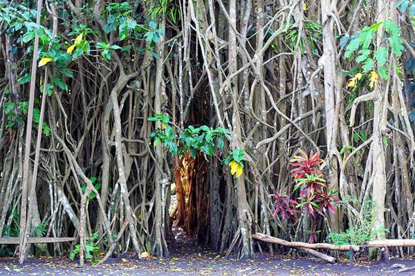 . Мангровыми зарослями заняты прибрежные зоны. Человек завез на острова множество различных растений: хлебное дерево, бананы, маис, ананасы и пр. Здесь произрастают такие ценные породы, как сандаловое дерево и каури.